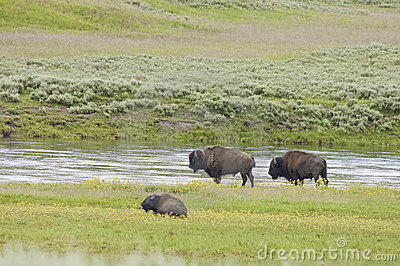 Iconic buffalo beside the yellowstone river