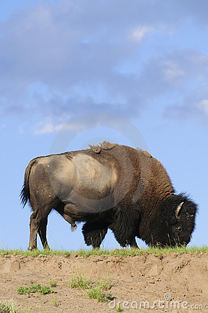 Iconic North American buffalo