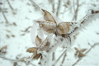 Icy cotton plants in winter