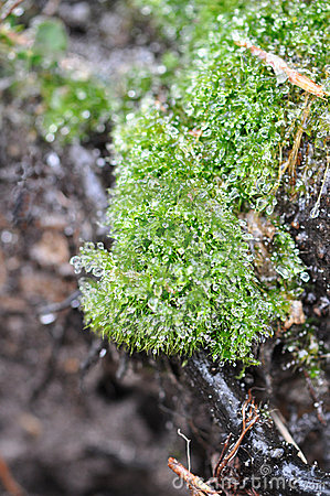 Icy Moss
