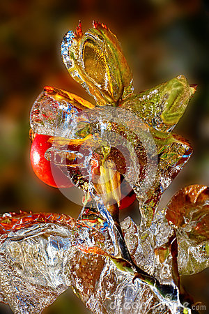Icy rosehip