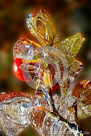 Icy rosehip