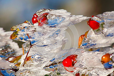 Icy rosehips