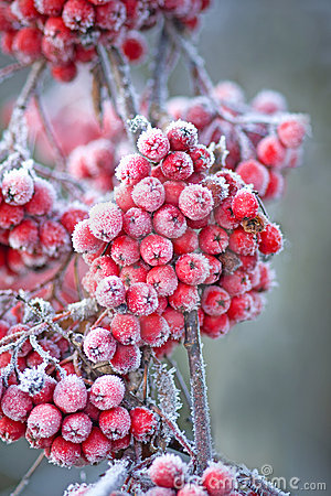 Free Icy Rowan Berries Stock Images - 12250104