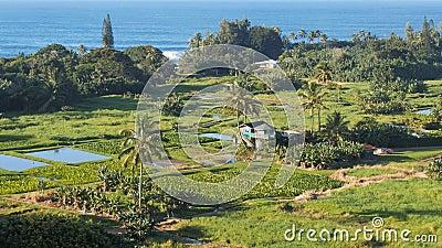 Ideia alta de campos do taro na estrada de maui a Hana video estoque