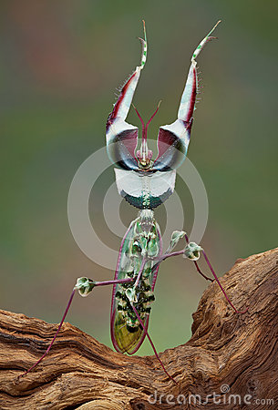Idolomantis threat display
