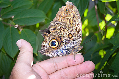 Idomeneus Giant Owl Butterfly (Caligo idumeneus)