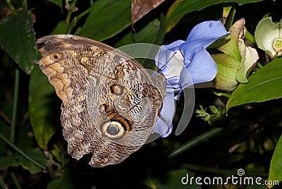 Idomeneus Giant Owl (Caligo idomeneus)