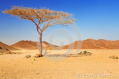 Idyllic desert scenery with single tree