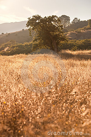 Idyllic Meadow and Oak Tree at sunset