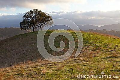Idyllic oak tree in evening sunlight