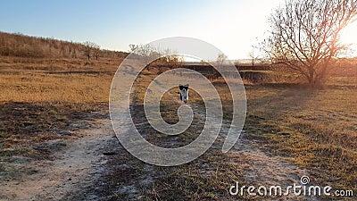 Idylliczny wiejski szlak przez suchą łąkę siana i przeszczęśliwy pies biegający szybko w kierunku kamery, efekt powolnego ruchu P zbiory wideo
