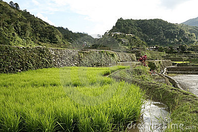 Ifugao green rice terraces philippines