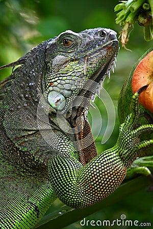 Free Iguana Stock Photo - 14097870