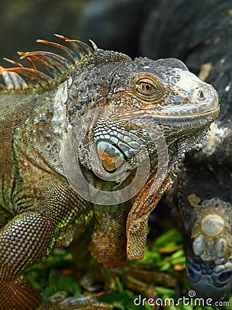 Free Iguana Stock Photo - 17728140