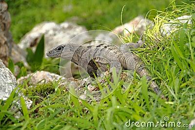 Iguana I