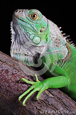 Free Iguana Stock Photography - 4682082