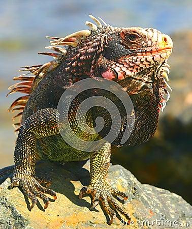 Free Iguana Royalty Free Stock Photo - 4686125