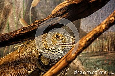 Iguana adulta em um terrarium
