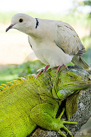 Free Iguana And Pigeon Royalty Free Stock Photo - 5223585