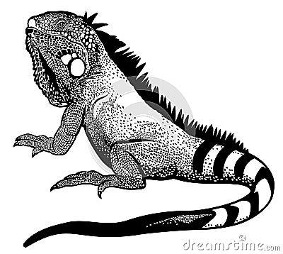 Free Iguana Black White Stock Photo - 34741070