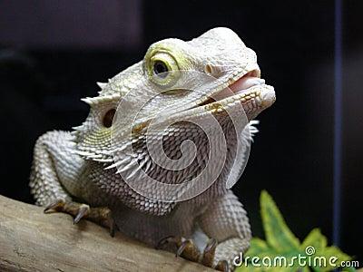 Iguana branca