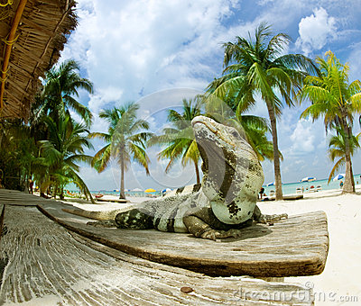 Iguana on The Caribbean Beach