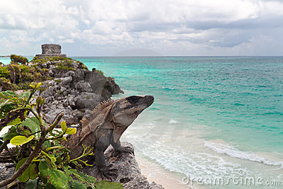 Iguana on the cliff