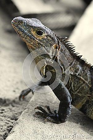 Iguana (Costa Rica)