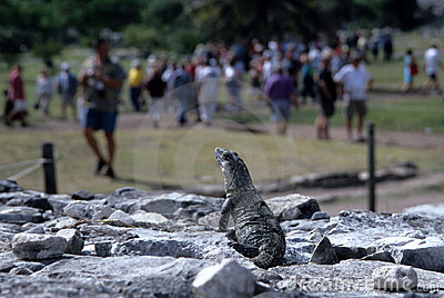 Iguana, counting visitors