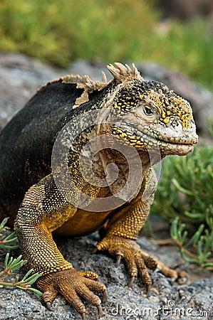 Iguana de la pista de las Islas Gal3apagos