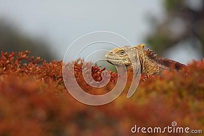 Iguana In Foliage
