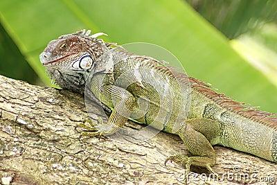 Iguana Gaze
