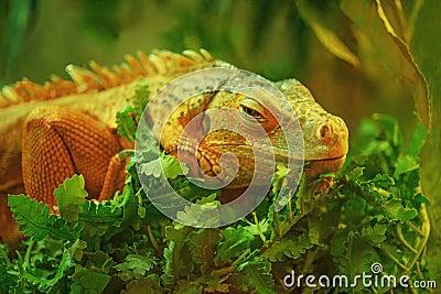 Iguana grande hermosa