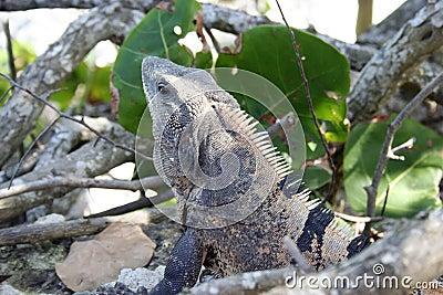 Iguana in greens