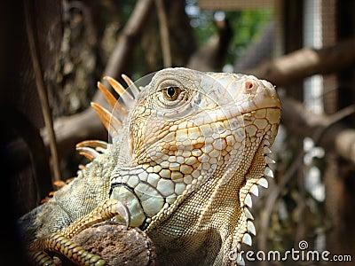 Iguana iguana.