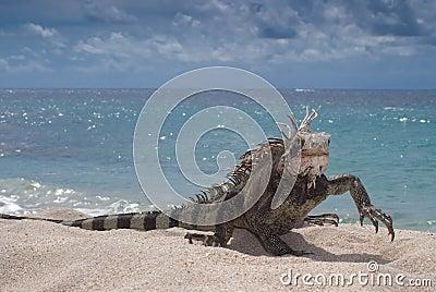 Iguana (Iguana iguana) walking