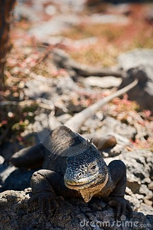 The iguana on a lava. 2