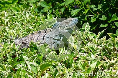 Iguana on leafy bush
