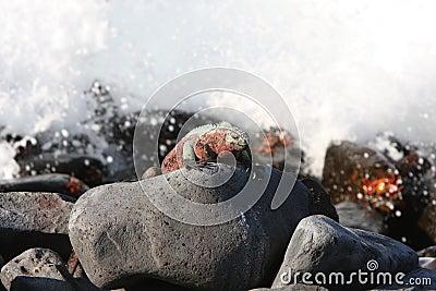 Iguana marinha de Galápagos e mares ásperos