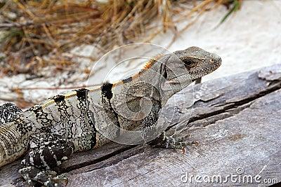 Iguana in Mexico on aged gray wood near beach