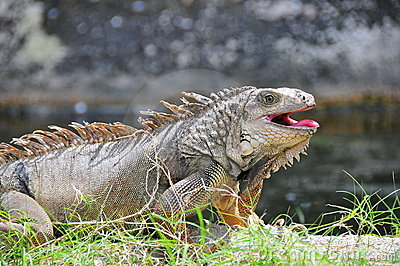 Iguana with open mouth