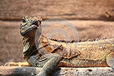 Iguana portrait