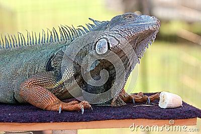 Iguana Prepares To Eat Banana