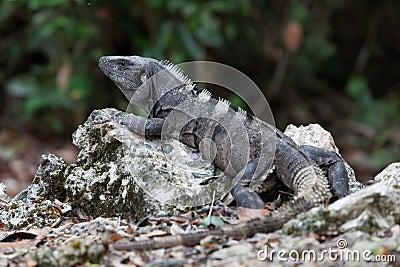 Iguana resting on rock