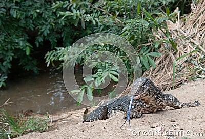 Iguana on riverbank