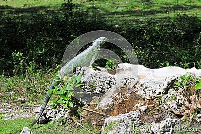 Iguana on rock