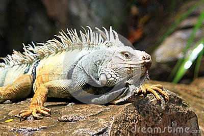 Iguana on the rock