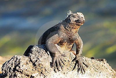 Iguana sunbathing in the galapagos Islands