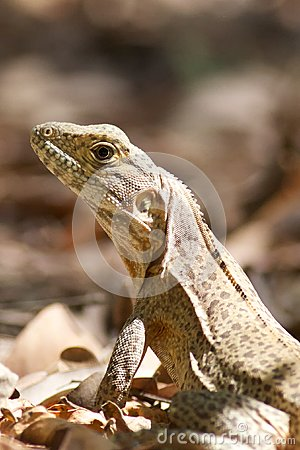 Iguana Sunning Itself